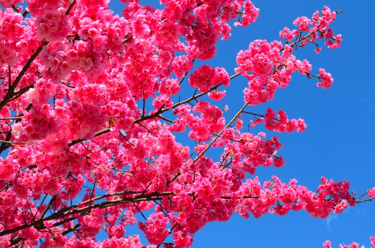 """""""Flames"""" of Cherry blossoms on Dali University campus."""