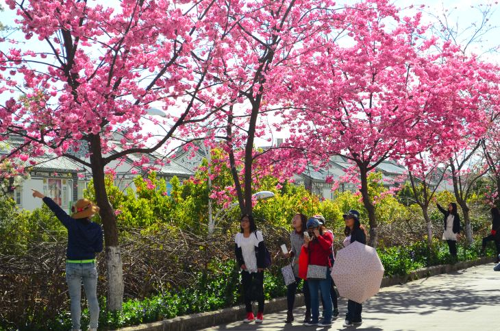 Students and tourists can't resist taking photos with Cherry blossoms!