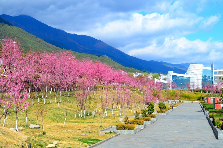 Cherry trees on Dali University campus with Art College and mountains in the background.