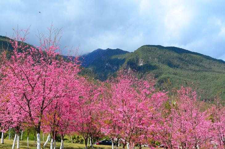 More cherry trees!