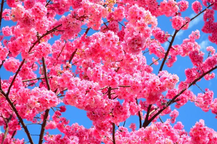 Cherry blossoms on Dali University campus