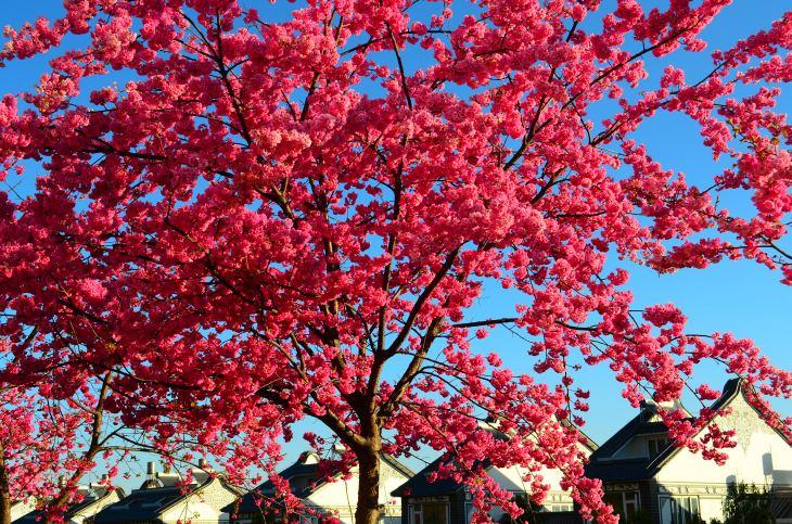 Cherry tree on Dali University campus.