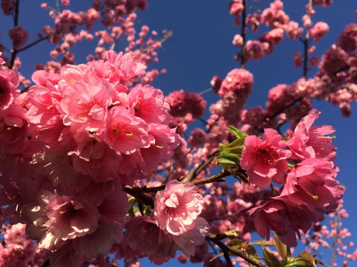 Close-up of cherry blossom on University campus.
